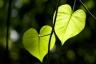 Leaf Hearts