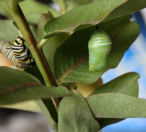 Chrysalis and Caterpillar